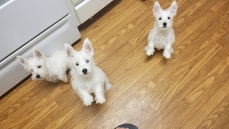 West Highland White Terrier Puppy For Sale in TEMPE, AZ, USA