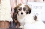Zuchon Puppy For Sale in BEL AIR, Maryland,