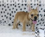 Small Photo #1 French Bulldog Puppy For Sale in WASHINGTON, DC, USA