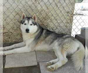 Siberian Husky Puppy for sale in PALMDALE, CA, USA