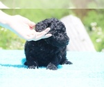 Small #43 Poodle (Standard)