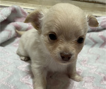 Small Photo #6 Chihuahua Puppy For Sale in NEVADA, TX, USA