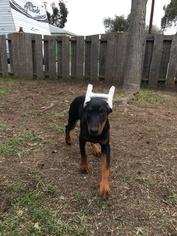 Doberman Pinscher Puppy For Sale in SAN DIEGO, CA, USA