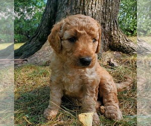 Goldendoodle Dog for Adoption in ANNANDALE, Minnesota USA