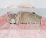 Small #1 Pomsky