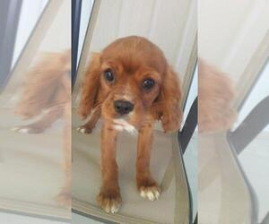 Cavalier King Charles Spaniel Puppy for sale in BATTLE CREEK, MI, USA