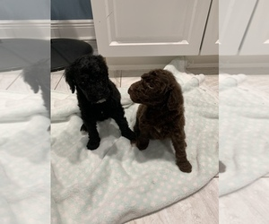 Poodle (Standard) Puppy for sale in TAMPA, FL, USA