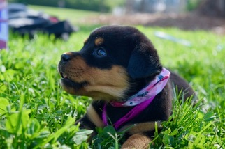 View Ad Rottweiler Puppy For Sale North Carolina Hickory Usa