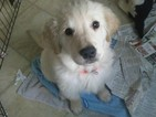 Golden Retriever Puppy For Sale in SUNAPEE, NH