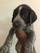 German Shorthaired Pointer Puppy For Sale in SOMERSET, TX, USA