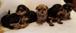 Silkese Puppy For Sale in KINGSTON, OH