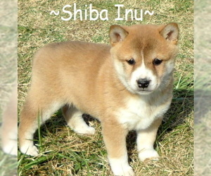 Shiba Inu Puppy for Sale in FOYIL, Oklahoma USA
