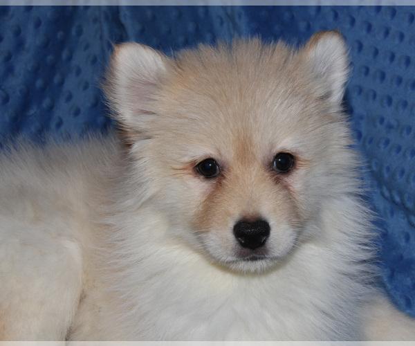 Medium Photo #3 Pomsky Puppy For Sale in DENTON, TX, USA
