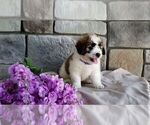 Puppy 2 Poodle (Miniature)-Saint Bernard Mix