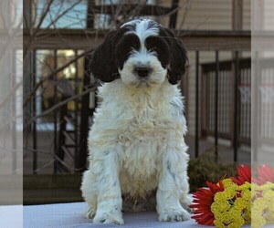 Portuguese Water Dog Puppy for sale in STRASBURG, PA, USA