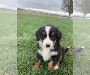 Bernese Mountain Dog Puppy for sale in BROWNSTOWN, IN, USA