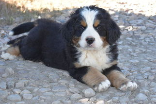 Bernese Mountain Dog Puppy For Sale in FAIRVIEW, UT, USA