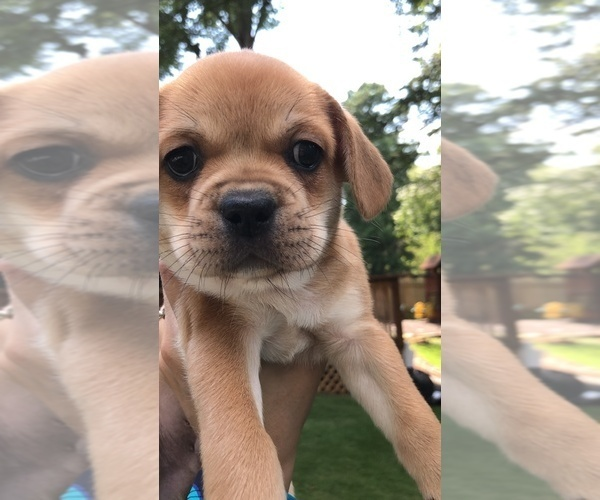 Medium Photo #13 Cavalier King Charles Spaniel-French Bulldog Mix Puppy For Sale in LAWRENCEVILLE, GA, USA