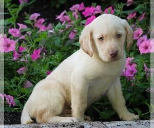 Labrador Retriever Puppies for Sale near Harrisville