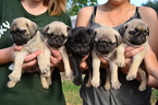 Pug Puppy For Sale in BROOMFIELD, CO