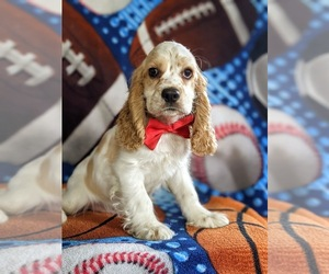Cocker Spaniel Puppy for sale in LEOLA, PA, USA
