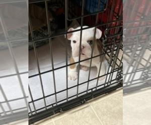 English Bulldogge Puppy for sale in MODESTO, CA, USA