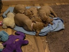 Vizsla puppies for hunting or a new family member