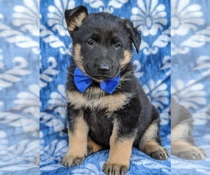 German Shepherd Dog Puppy for sale in PARADISE, PA, USA