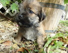 Shorkie Tzu Puppy For Sale in SPRING HILL, KS, USA