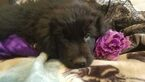Newfoundland Puppy For Sale in NORMAN, OK, USA