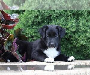 Labrador Retriever-Unknown Mix Puppy for sale in FREDERICKSBG, OH, USA