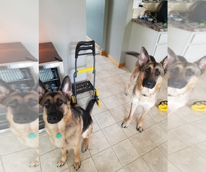 German Shepherd Dog Dog for Adoption in MEDINA, Ohio USA