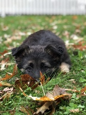 German Shepherd Dog Puppy For Sale in GOSHEN, NY, USA