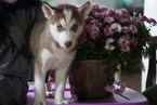 Siberian Husky For Sale Female Kit Kat