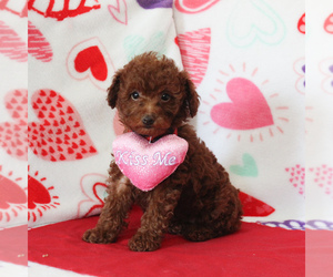 Poodle (Miniature)-Poodle (Toy) Mix Puppy for sale in GORDONVILLE, PA, USA