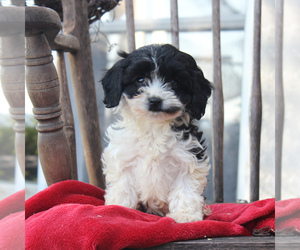 Cavapoo Puppy for sale in GORDONVILLE, PA, USA