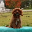 Cavapoo-Poodle (Miniature) Mix Puppy For Sale in GAP, PA, USA