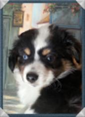 Australian Shepherd Puppy For Sale in KALISPELL, MT