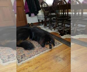 Tibetan Mastiff Puppy for sale in DANVILLE, PA, USA