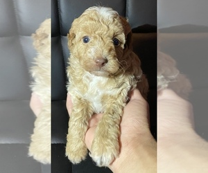 Poodle (Toy) Puppy for sale in HANFORD, CA, USA