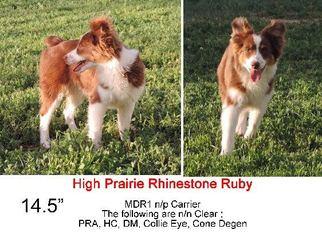 Miniature Australian Shepherd Puppy For Sale in DENVER, CO