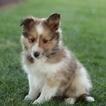 Shetland Sheepdog Puppy For Sale in GAP, Pennsylvania,