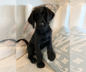 Labradoodle Puppy for sale in CLOVIS, CA, USA
