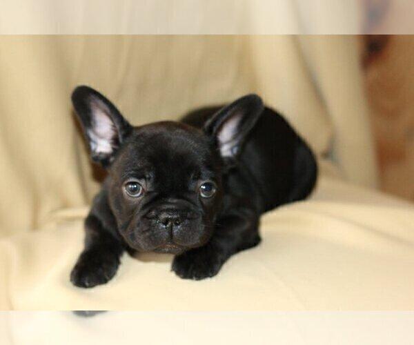 Medium Photo #2 French Bulldog Puppy For Sale in PALOS VERDES ESTATES, CA, USA