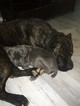 Cane Corso Puppy For Sale in MOORESVILLE, NC, USA