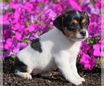 Small #2 Jack Russell Terrier