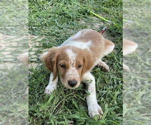 Brittany Puppy for sale in PORT BYRON, IL, USA
