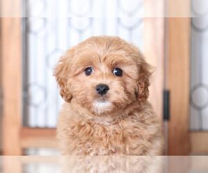 Poochon Puppy for sale in NAPLES, FL, USA