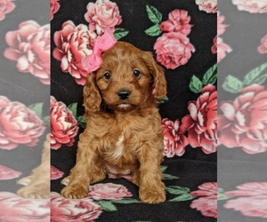 Cavapoo Puppy for sale in NOTTINGHAM, PA, USA