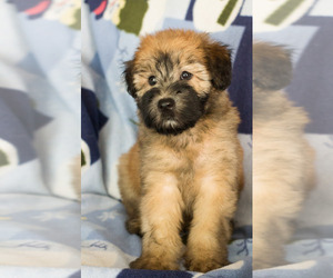 Soft Coated Wheaten Terrier Puppy for sale in MILWAUKEE, WI, USA
